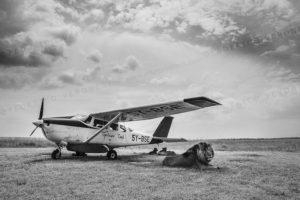 Black and white image of Lions sleeping under parked plane in Masai Mara