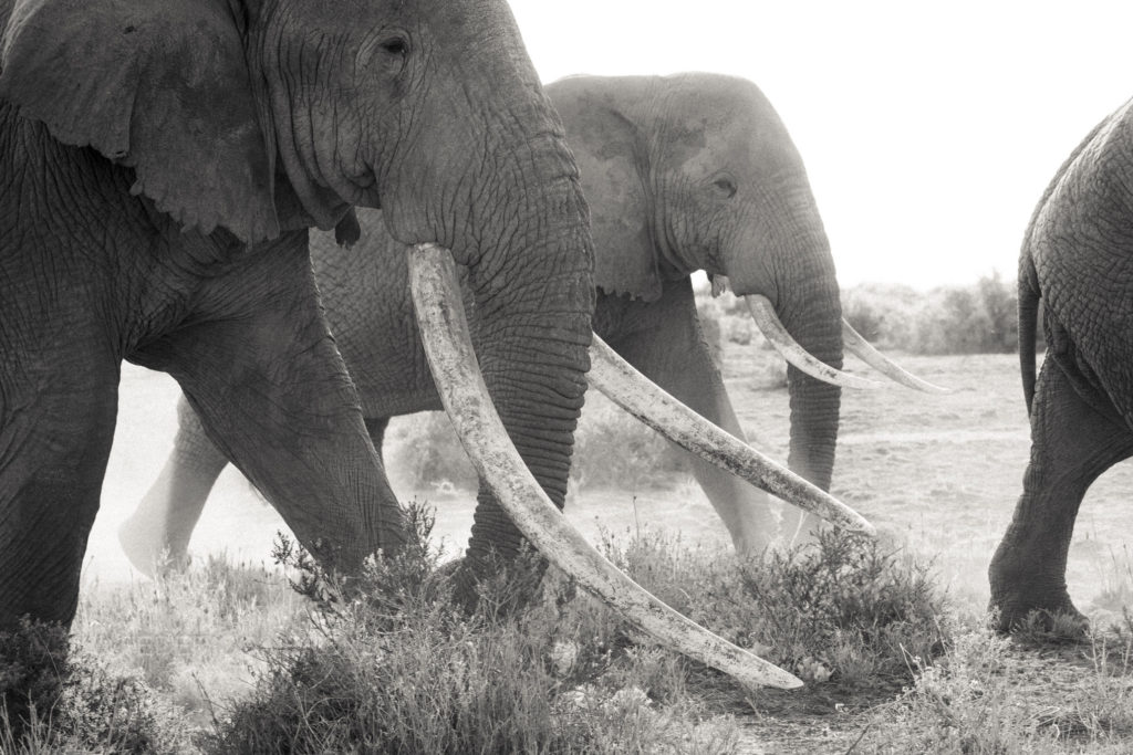 Kenya_Amboseli-Mara_photo-safaris_Tim-tusker