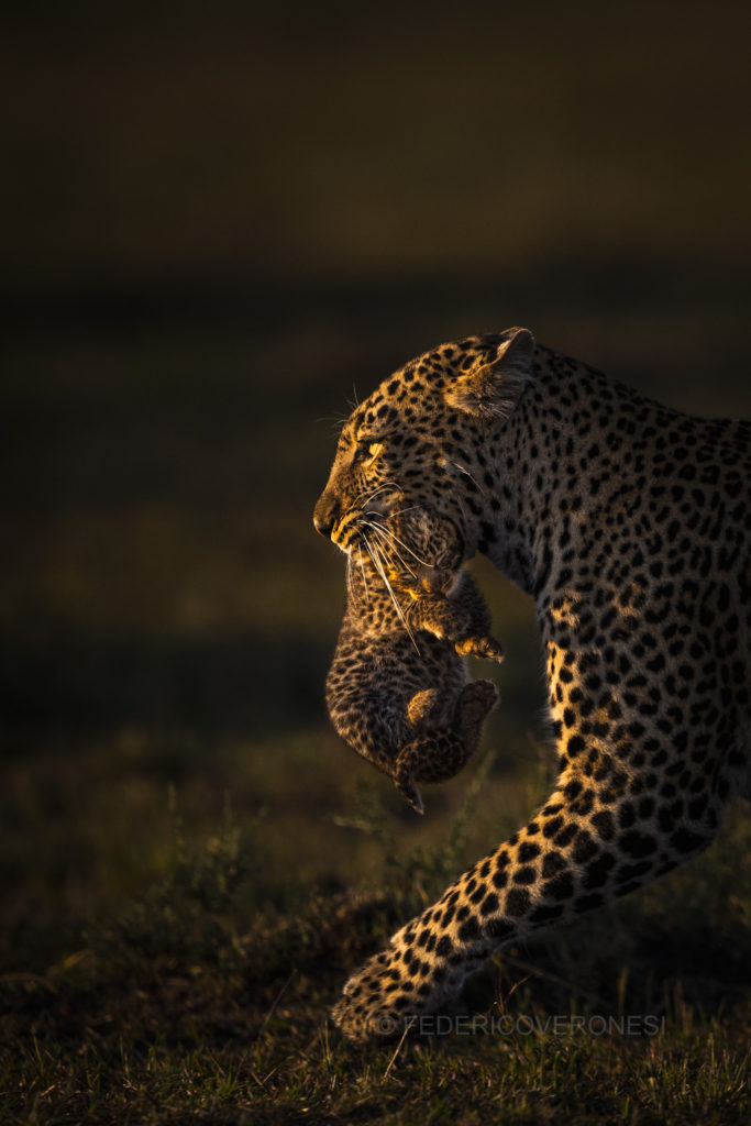 Kenya_Photo_safari_Masai_Mara_Leopard_carrying_cub