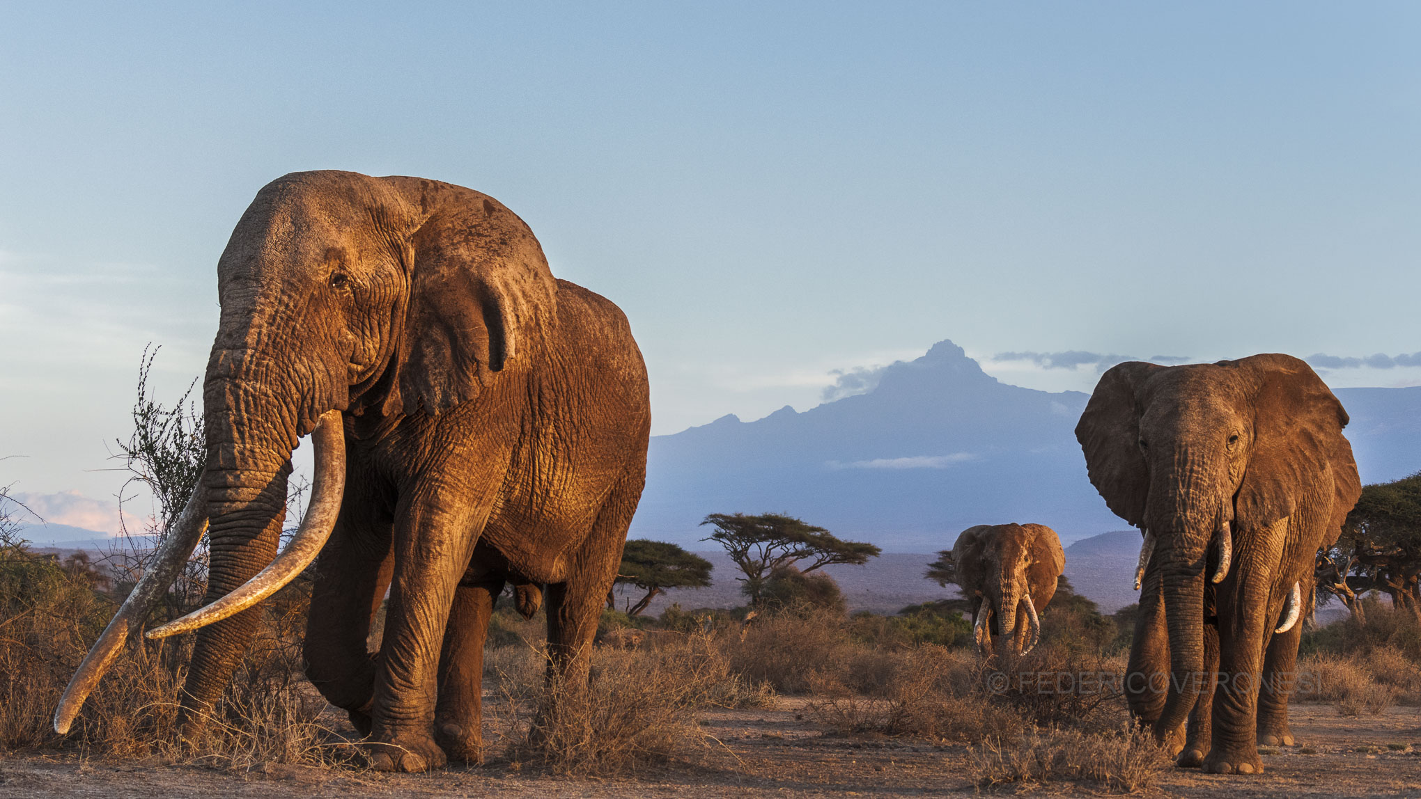 Kenya_Amboseli_Elephants_Tusker__Photo_Safari