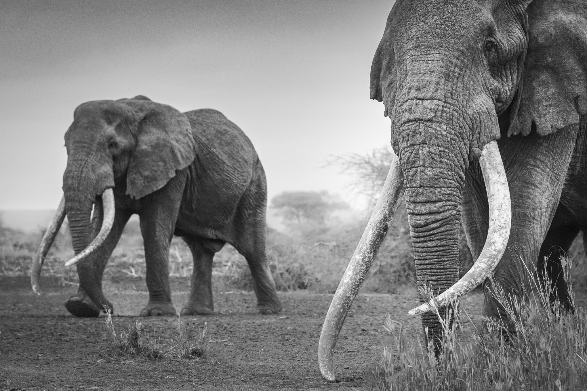 Kenya_Amboseli_Elephants_Tusker_Tim_Craig_Photo_Safari